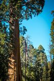 Sentinel tree. Giant sequoia. California, USA. Sequoia National Park, California, USA. Majestic thousand-year-old sequoia tree. National Natural Landmark of the Royalty Free Stock Photo
