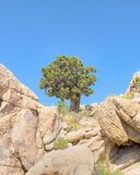 Sentinel tree, Teutonia Peak Trail, Mojave National Preserve, CA Royalty Free Stock Photo