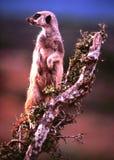 Sentinela de Meerkat Imagem de Stock Royalty Free