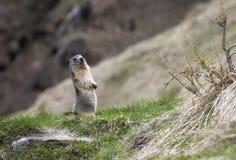 Sentinella della marmotta Fotografie Stock