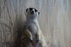 Sentinella diritta di Meercat Fotografia Stock