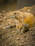Sentinelle de chien de prairie Images libres de droits