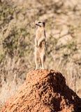 Sentinelle de Meerkat photo libre de droits