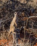 Sentinelle de Meerkat image libre de droits
