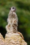 Sentinelle de Meerkat photos libres de droits