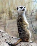 Sentinelle debout de Meercat Photographie stock