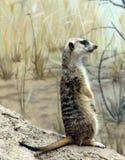 Sentinelle debout de Meercat Photo libre de droits