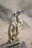 Sentinelle di Meerkat Immagini Stock