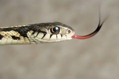 Sentire l'odore del serpente di nastro. Fotografie Stock