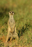 Sentry. Adult male suricate watching for danger next to den in late afternoon light Stock Image