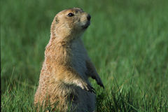 Sentry Black-tailed Prairie Dog. A Black-tailed prairie dog (Cynomys luovicianus) stands watch at a prairie dog town in Northern Wyoming Stock Photos