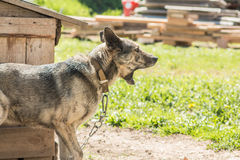 Sentry dog on the chain yawns near the kennel. Stock Photos