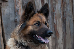 Sentry dog Royalty Free Stock Images