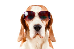 Sentry dog in sunglasses  on white Royalty Free Stock Image