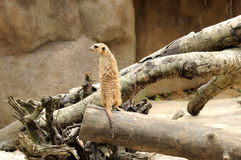 Sentry Duty. In Singapore Zoo Royalty Free Stock Image