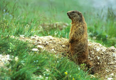 Sentry marmot Royalty Free Stock Images