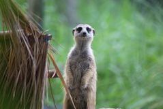 Sentry Meerkat Stock Images