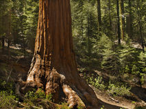 Sentry sequoia Stock Photo