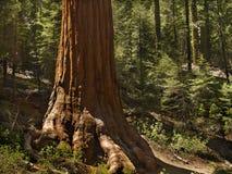Sentry sequoia. Base of a sequoia in Mariposa Grove, Yosemite stock photo