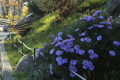 Sentyabrina flowers Royalty Free Stock Photography