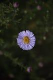 Sentyabrinki λουλουδιών Στοκ φωτογραφία με δικαίωμα ελεύθερης χρήσης