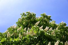 Senza questo albero di fioritura in primavera con un profumo molto forte e piacevole che asservisce i nostri odorato Immagine Stock