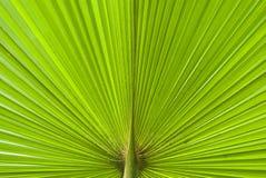 Seção da folha de palmeira de Chusan Imagens de Stock Royalty Free
