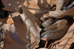 Seoane's viper (Vipera seoanei). A Seoane's viper hidden in the soil leaves Stock Photography
