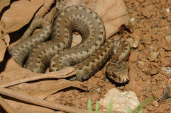 Seoane's viper (Vipera seoanei). Resting in the sun Royalty Free Stock Images