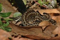 Seoane's viper (Vipera seoanei). A venomous viper species Stock Images