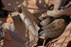Seoanes Viper (Vipera seoanei) Stockfotografie