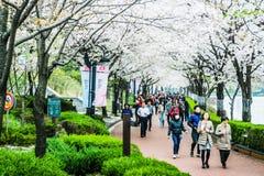 Seokchonhosu湖樱花节日 库存照片