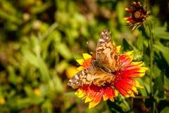 Señora americana Butterfly Imágenes de archivo libres de regalías