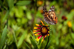 Señora americana Butterfly Foto de archivo libre de regalías