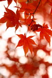 Seoraksan maple tree Royalty Free Stock Images