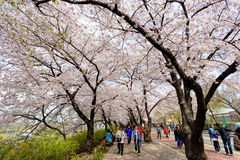 Seoul cherry blooming Stock Image