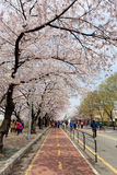 Seoul cherry blossom Royalty Free Stock Photos