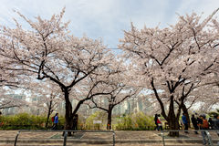 Seoul cherry blossom Royalty Free Stock Images