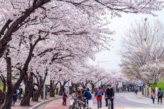 SEOUL,KOREA - APRIL 7 : Seoul cherry blossom festival. Royalty Free Stock Photography