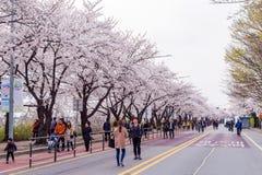 SEOUL,KOREA - APRIL 7 : Seoul cherry blossom festival. Royalty Free Stock Photo