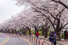 SEOUL,KOREA - APRIL 7 : Seoul cherry blossom festival. Stock Photos