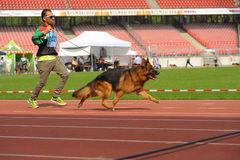 07 sep, de herdershond van Nurnberg van 2014 Grootste Duitse toont in het Duits Stock Foto's
