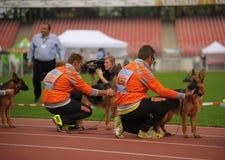 SEP 07, 2014 Nurnberg niemieckiej bacy Duży psi przedstawienie w niemiec Obrazy Royalty Free