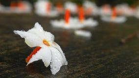 sepalika λουλουδιών Στοκ Εικόνες