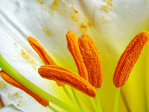 Sepals of white royal lily - Lilium regale Royalty Free Stock Image