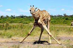 Separação do girafa que bebe Namíbia Etosha Fotografia de Stock Royalty Free