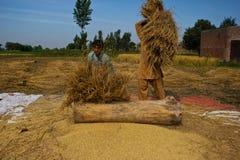 Separación de granos del arroz Fotos de archivo