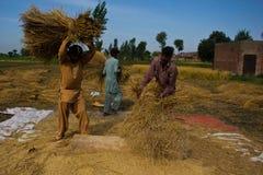 Separación de granos del arroz Fotografía de archivo