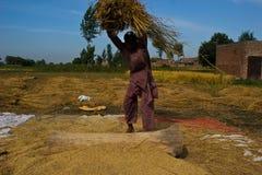Separación de granos del arroz Imagen de archivo libre de regalías