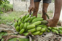 Separando a banana pelas mãos fotografia de stock